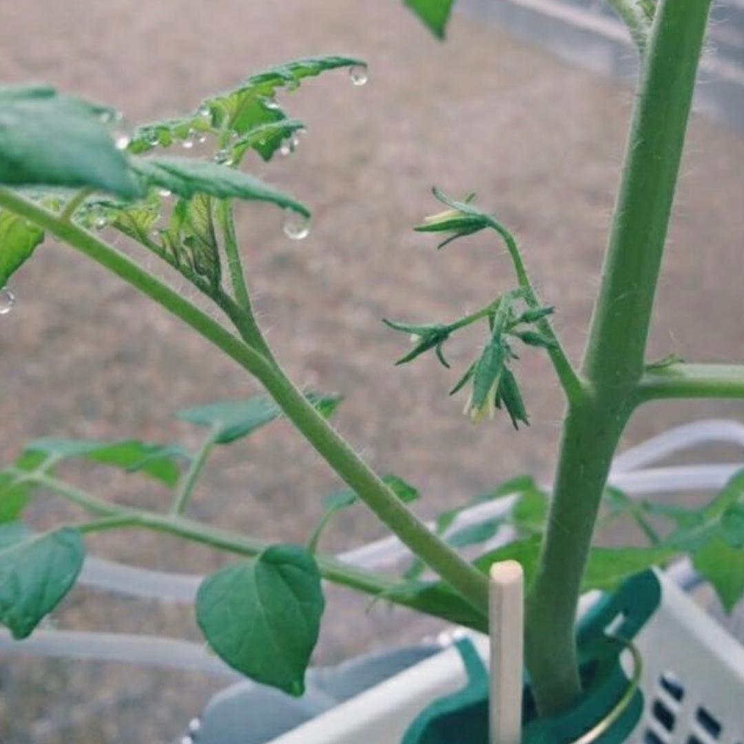 トマトわき芽