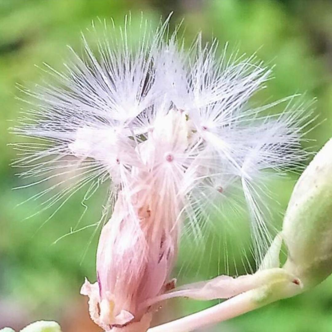 レタス綿毛