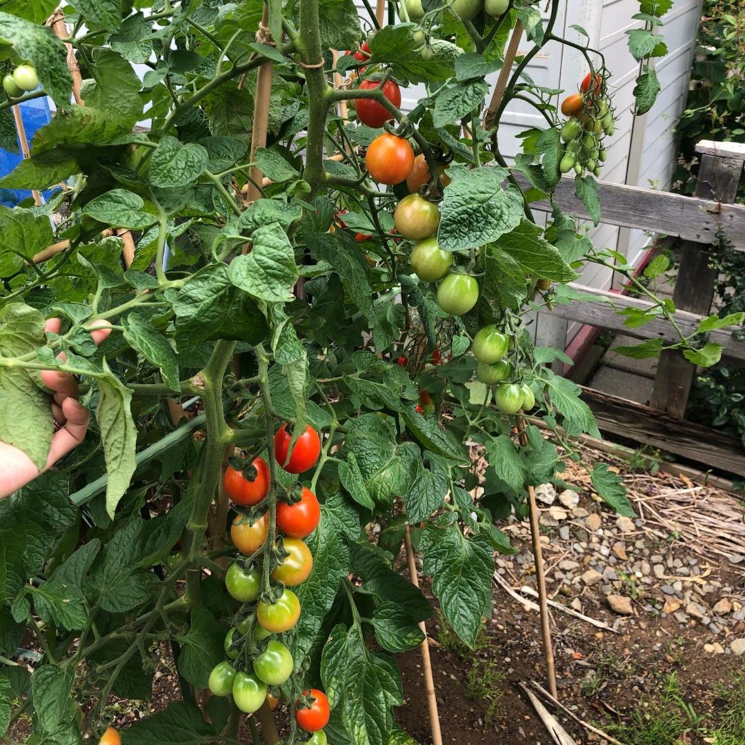 スーパーのトマトから種を採った中玉トマト