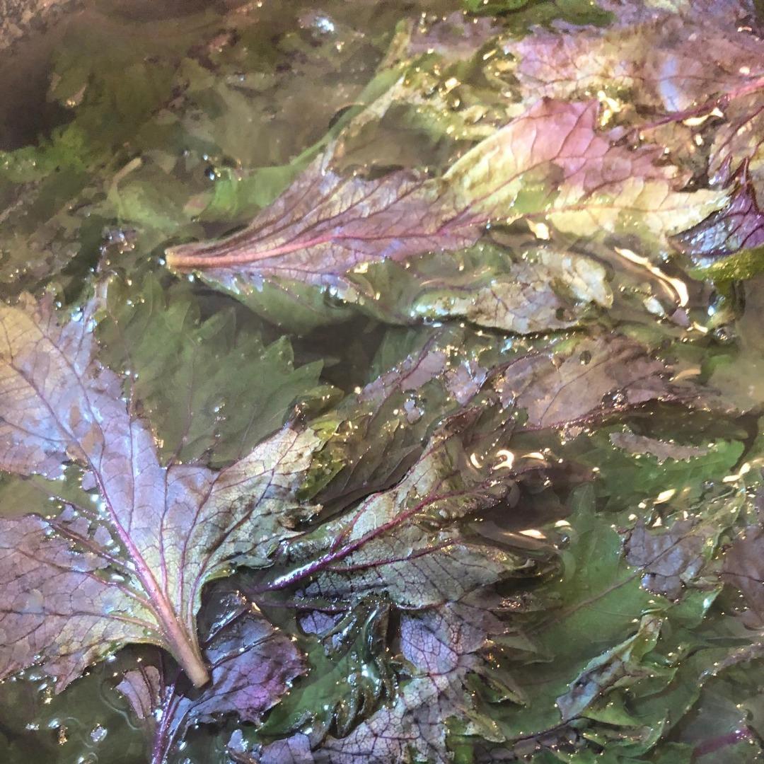 赤紫蘇ジュースの煮出し作業