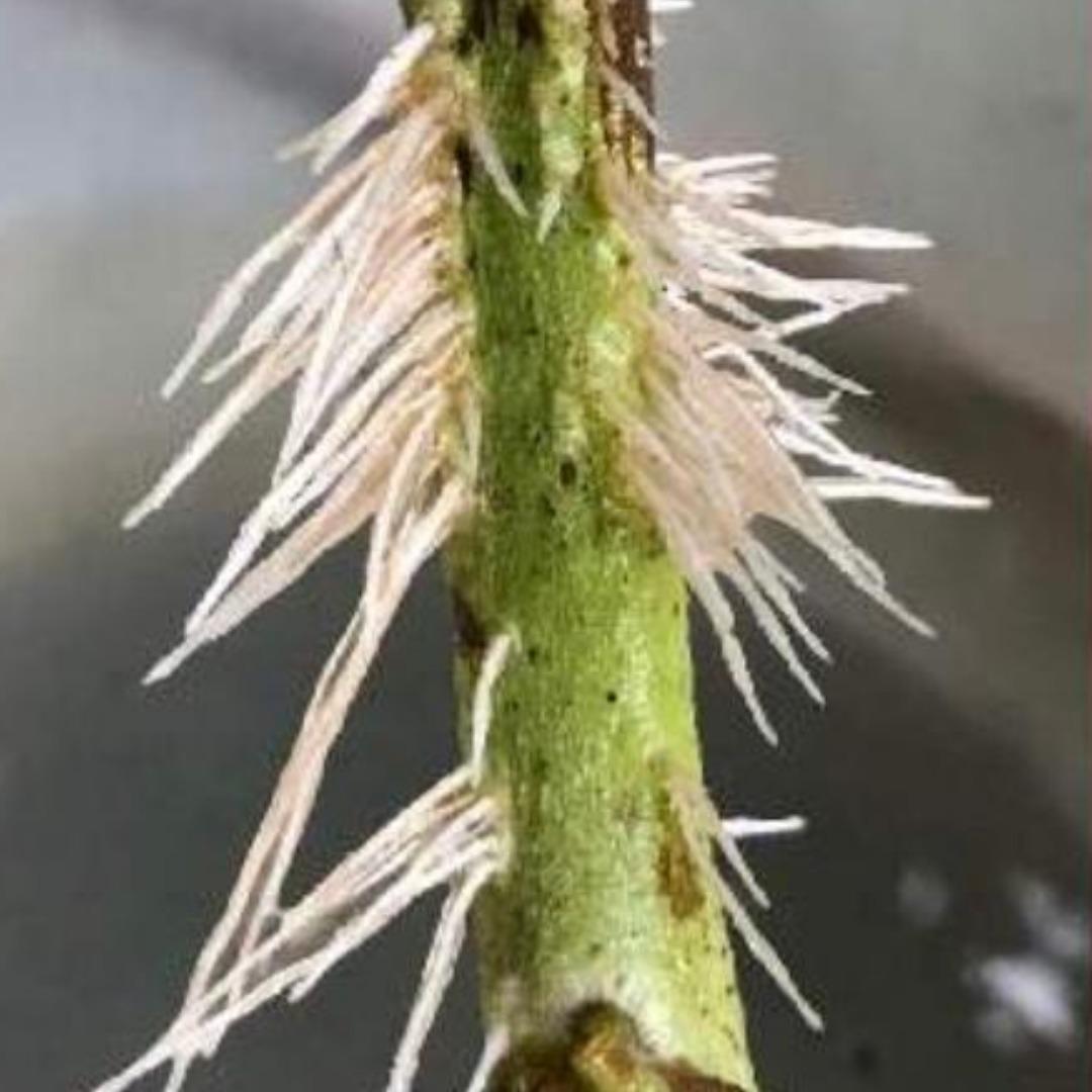 トマトの茎からの発根