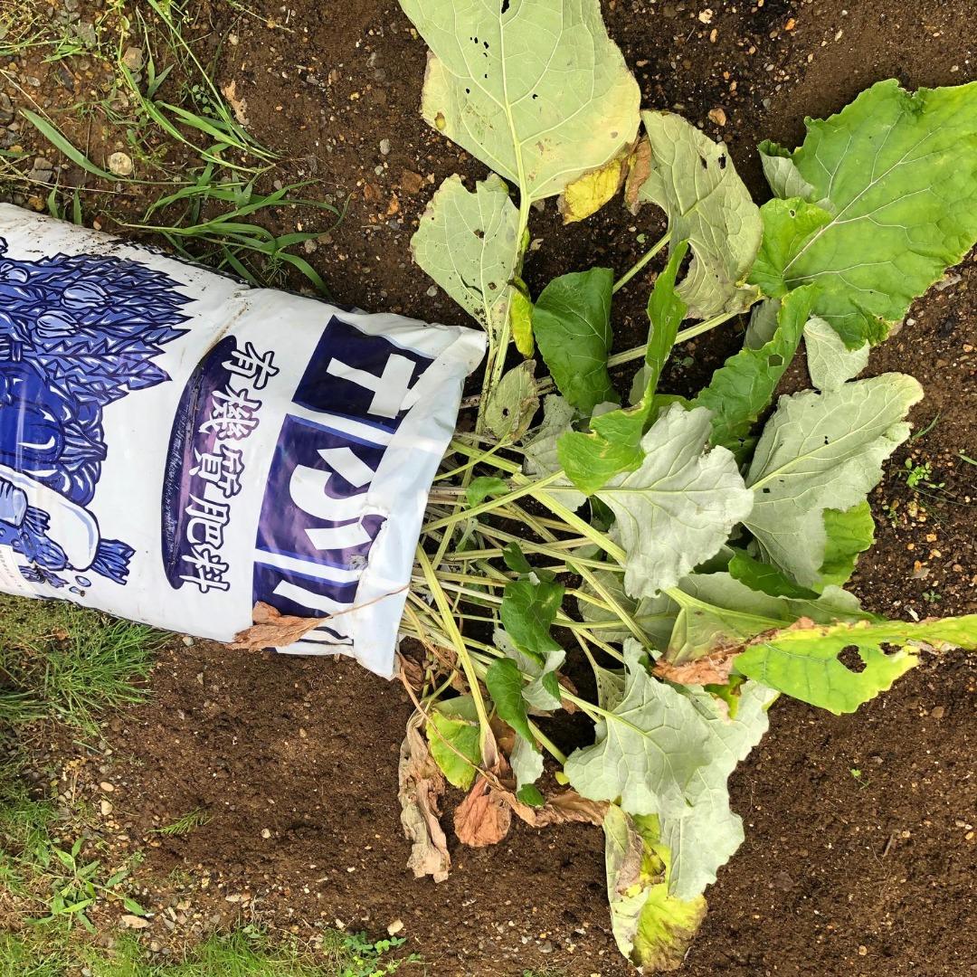ゴボウの袋栽培、収穫