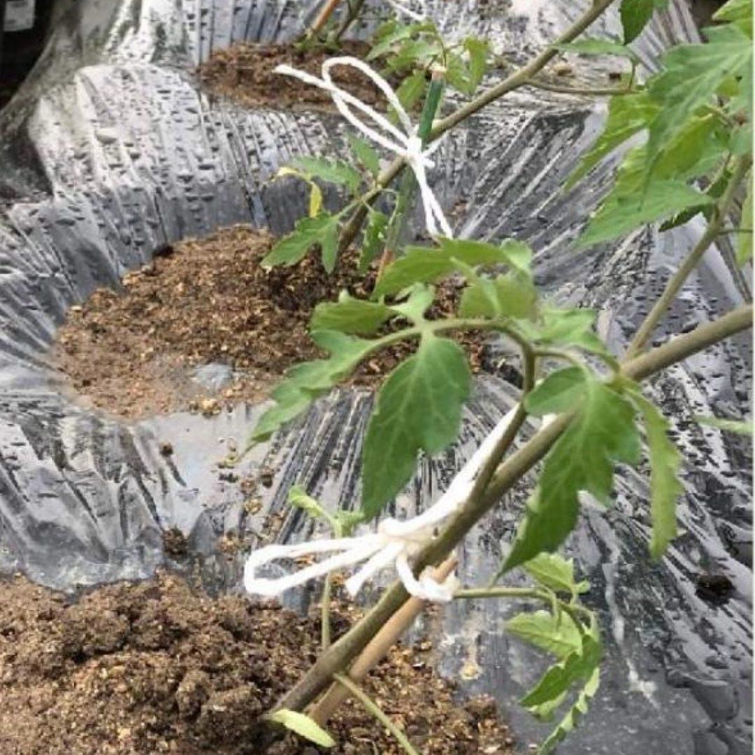 トマトの斜め植え