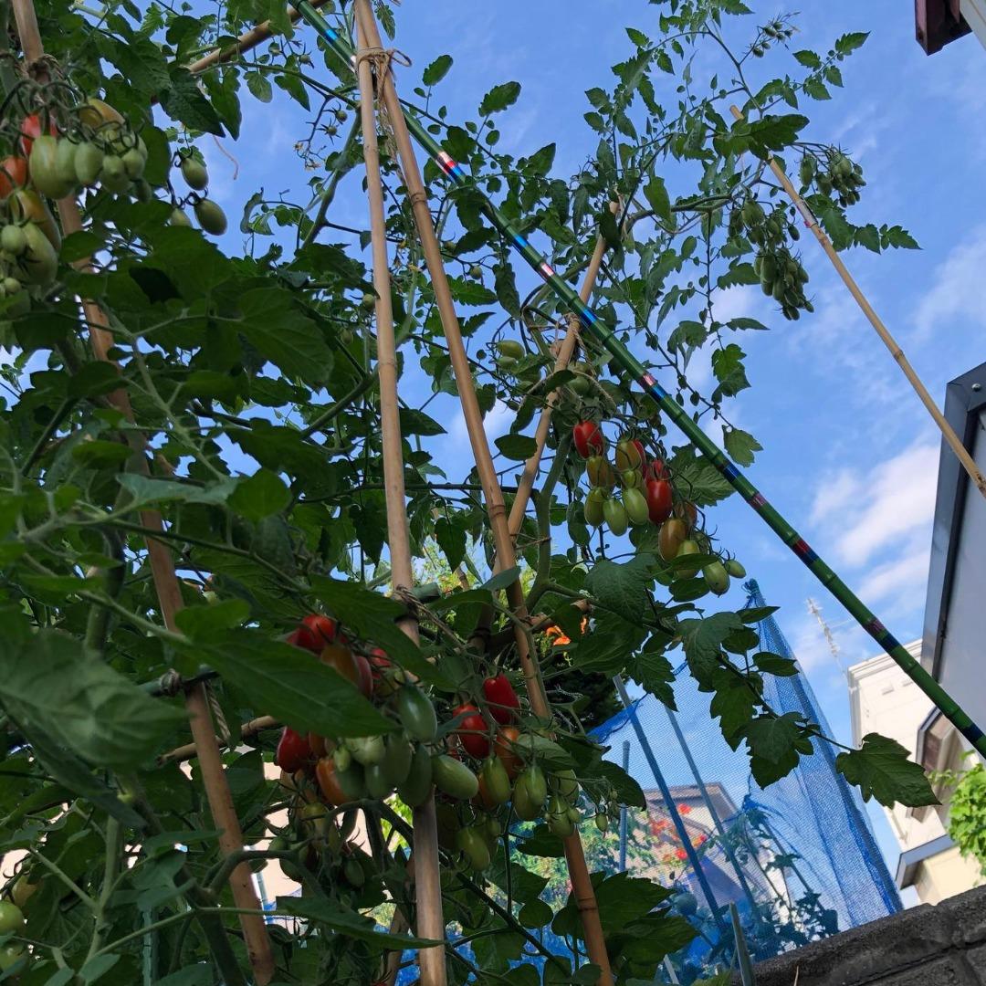 支柱を超えて伸びるトマト