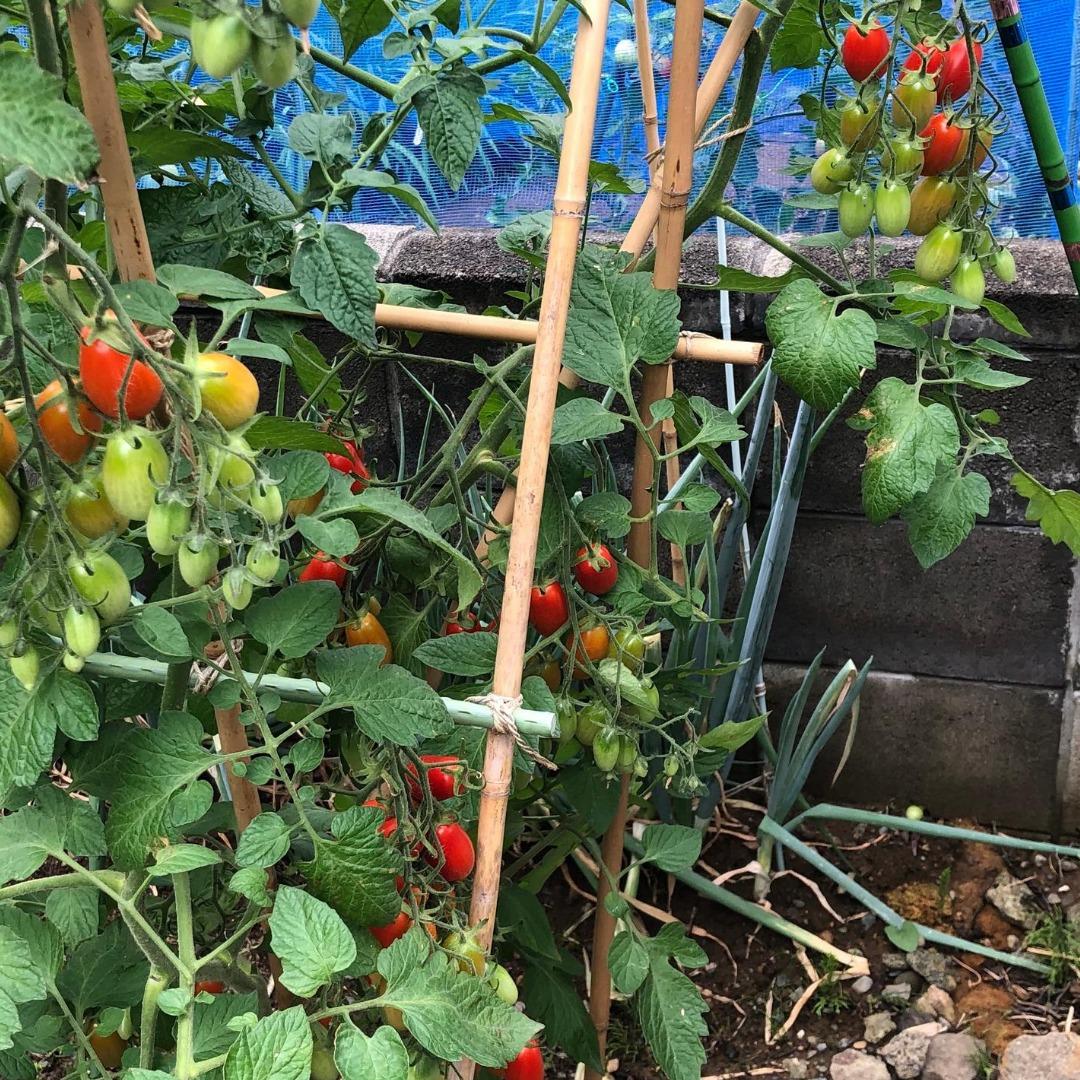 スーパーのトマトから種を採ったアイコ