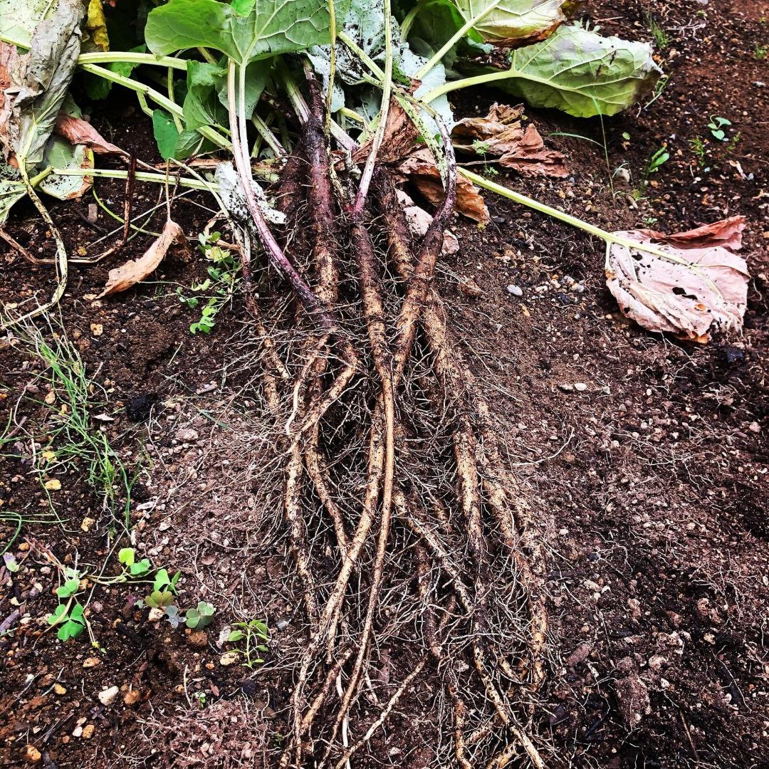 袋栽培のゴボウ、ひと袋分の成果