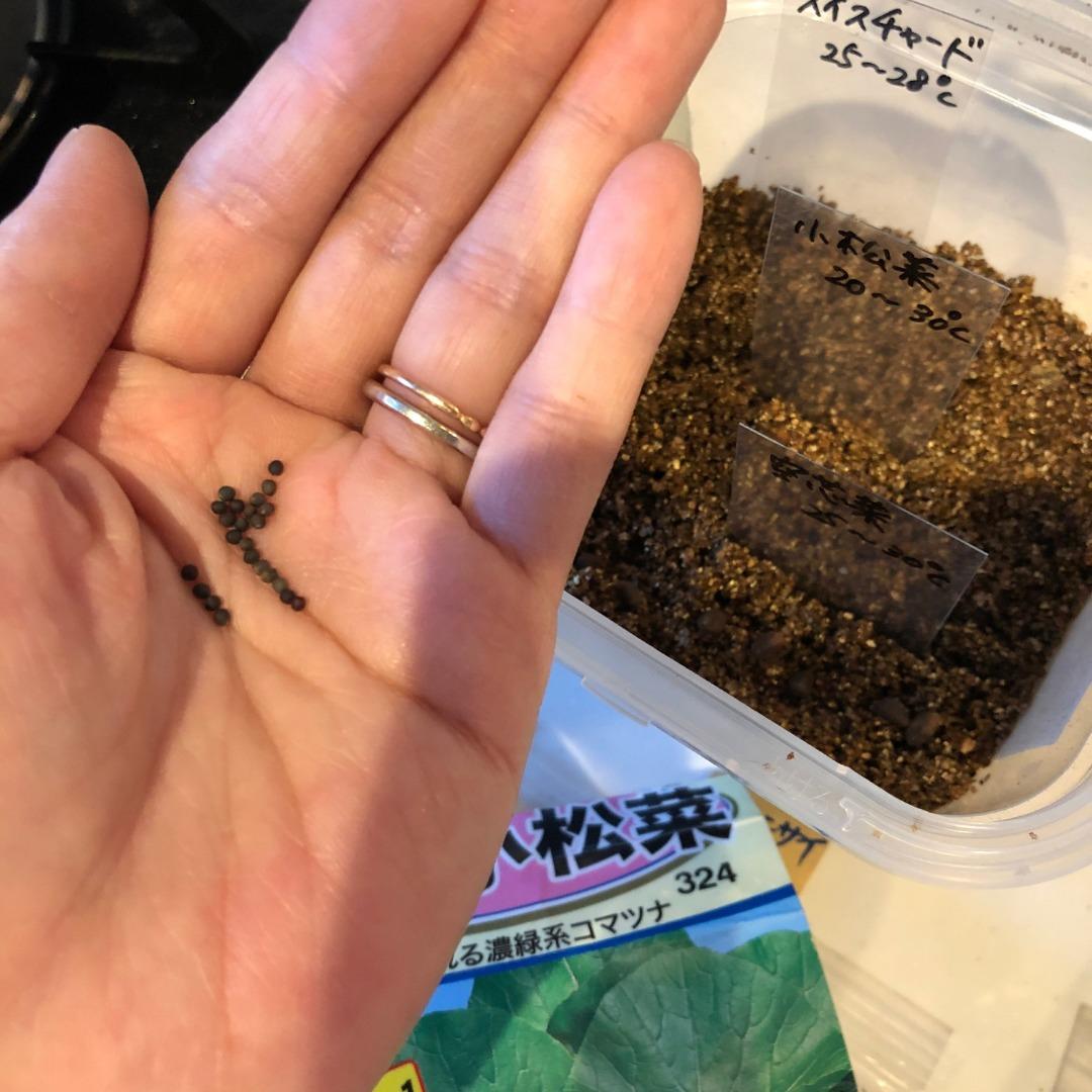 小松菜水耕栽培種まき方法