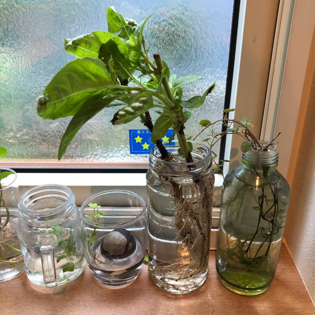 水耕栽培移行実験