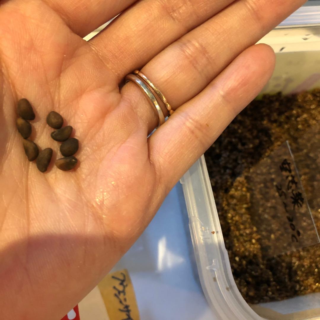 空芯菜水耕栽培種まき方法