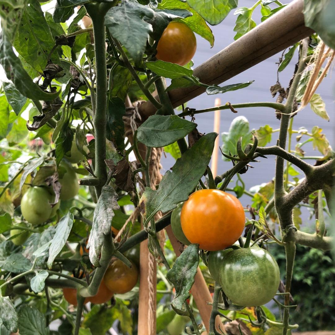 黄色トマト