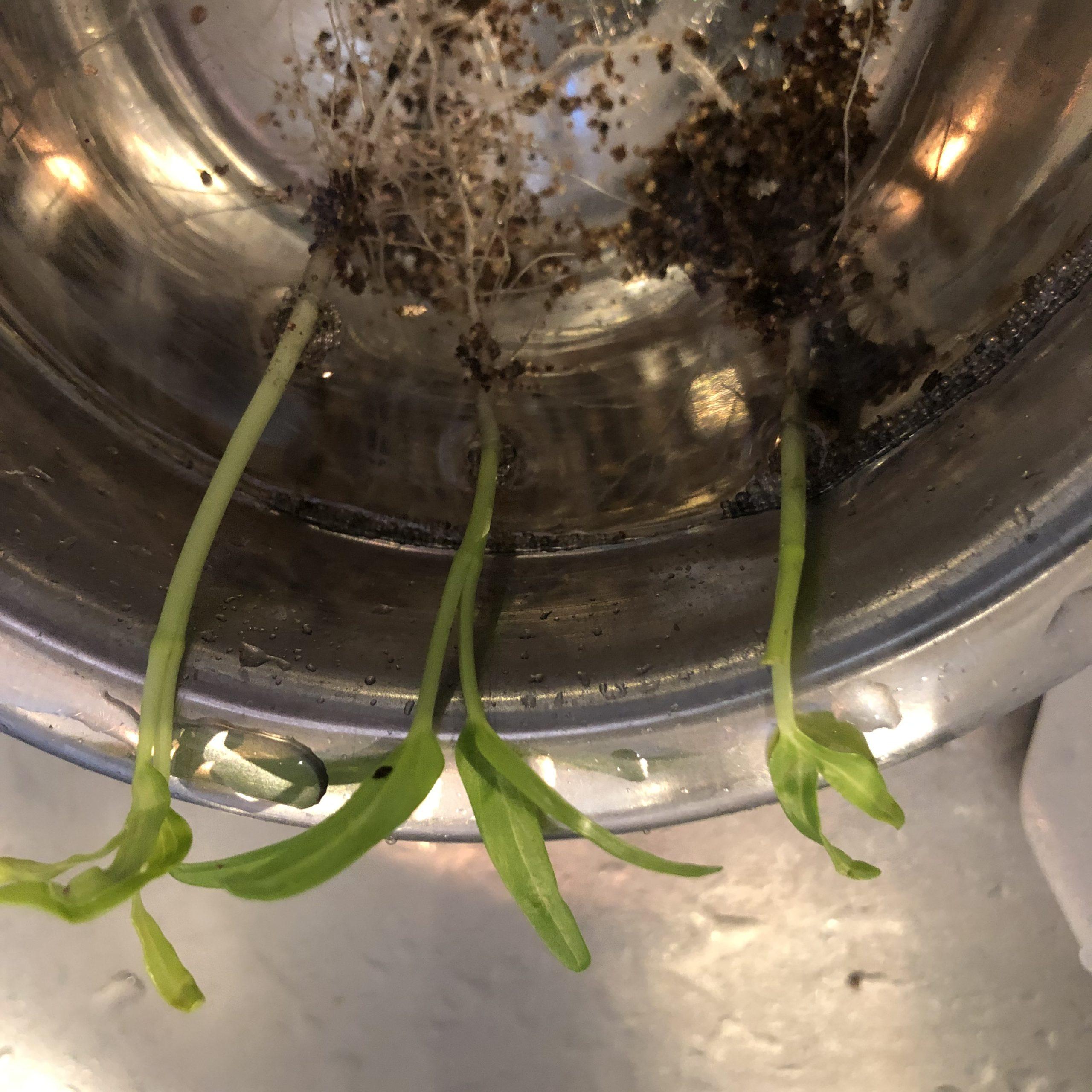 空芯菜を水耕栽培に移行