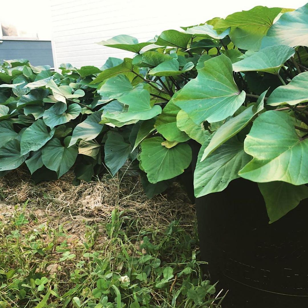 植えとプランターのさつまいも比較