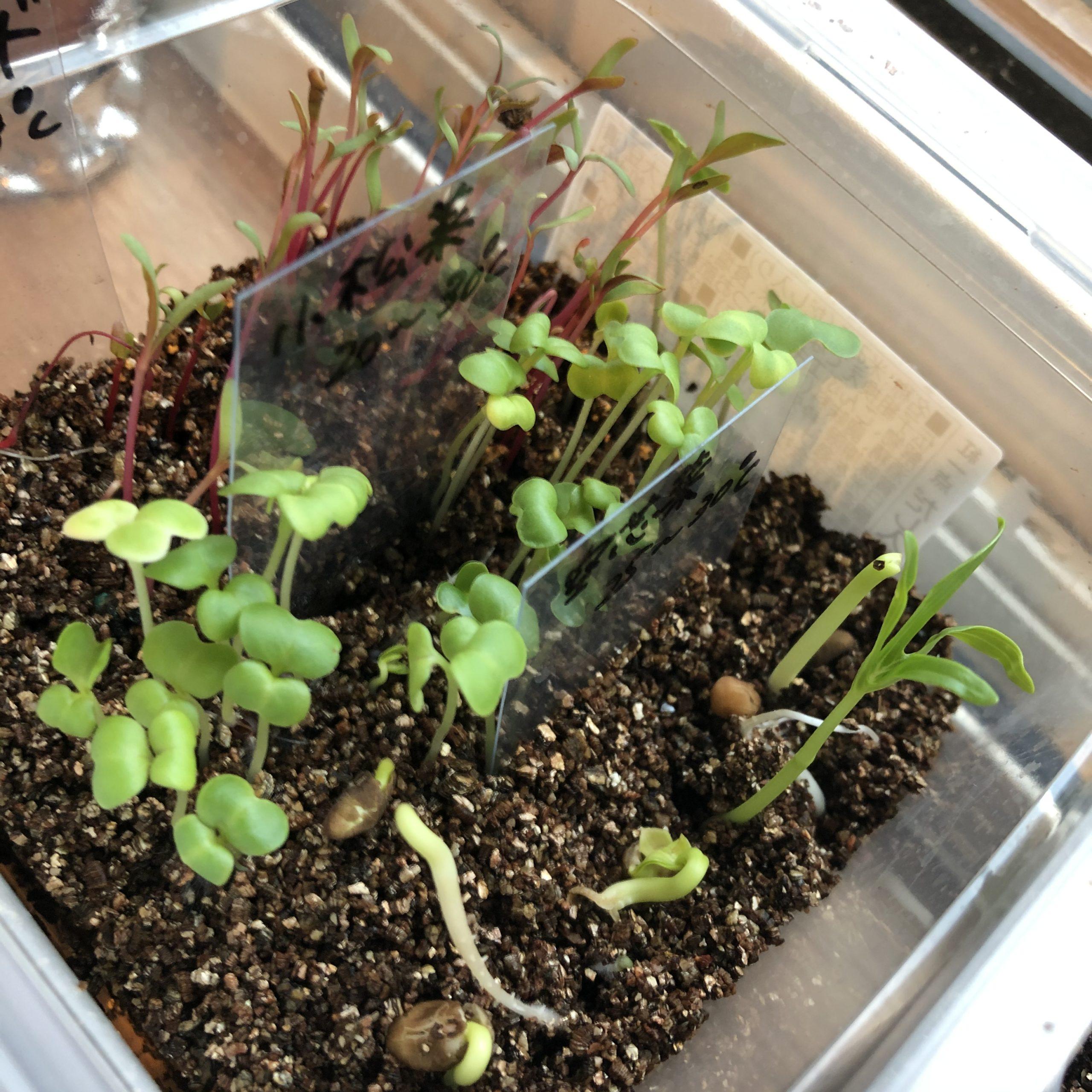 水耕栽培空芯菜