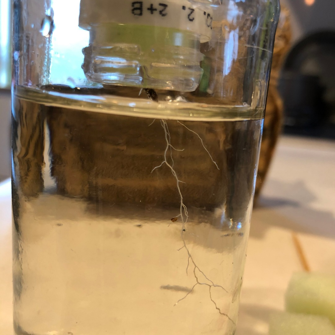 大葉の水耕栽培