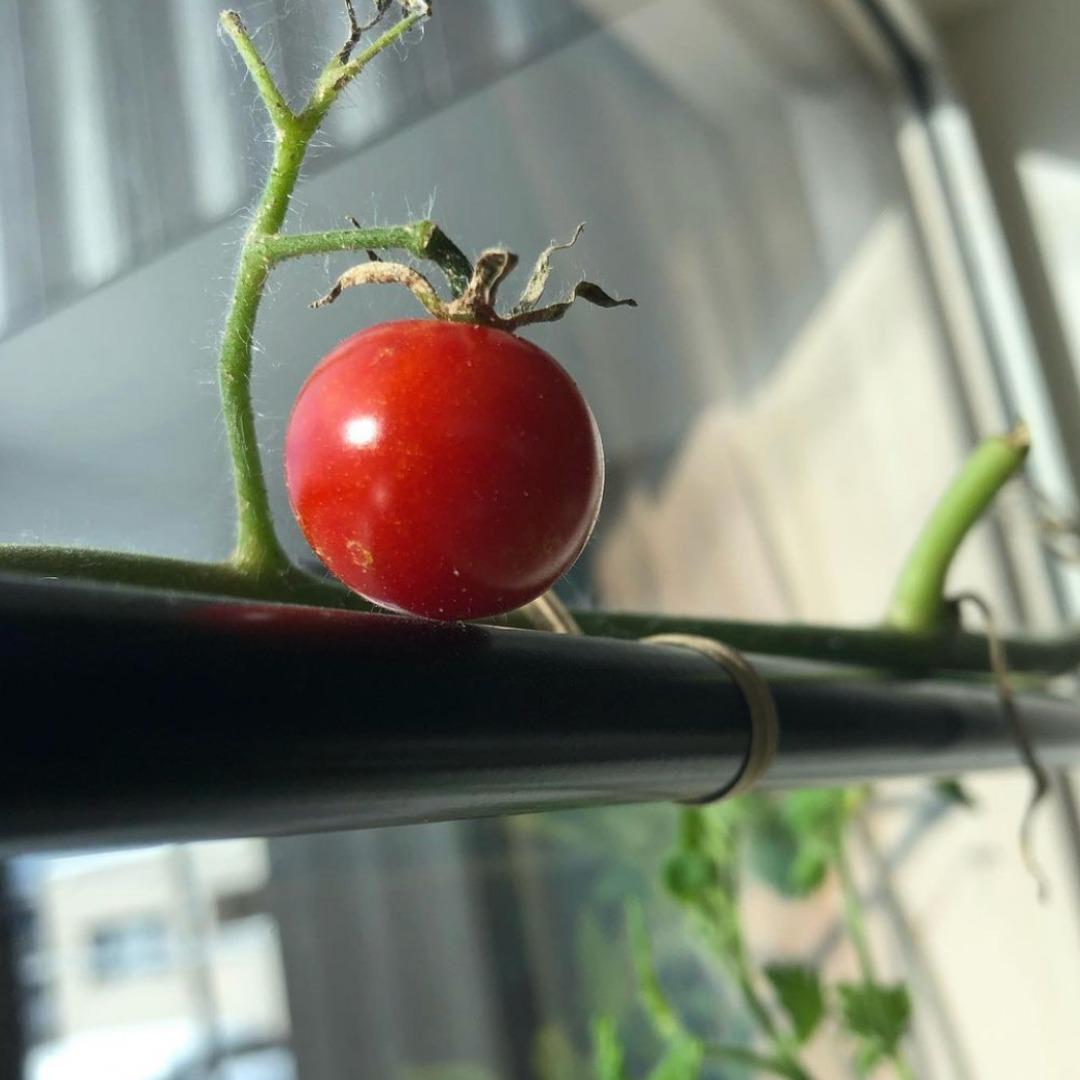 水耕栽培ミニトマト