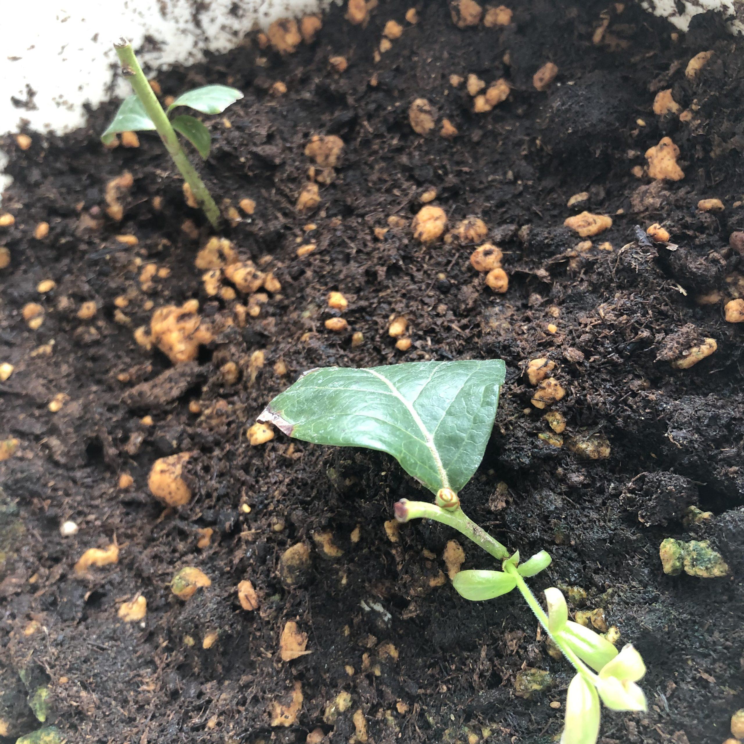 ハイブッシュ系ブルーベリーの緑枝挿し、冬場の管理(室内)