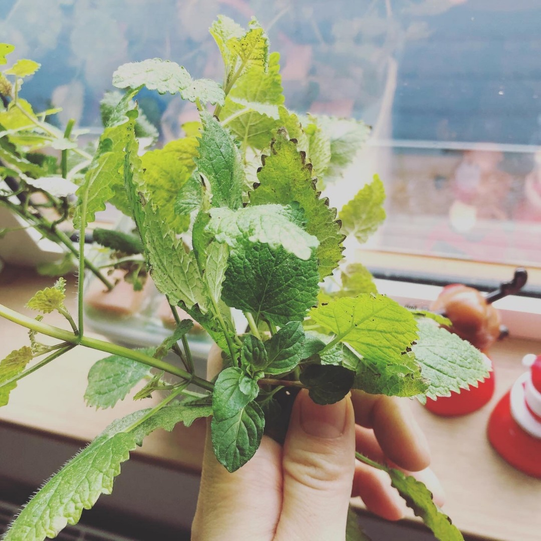 水耕栽培レモンバームとミントの収穫