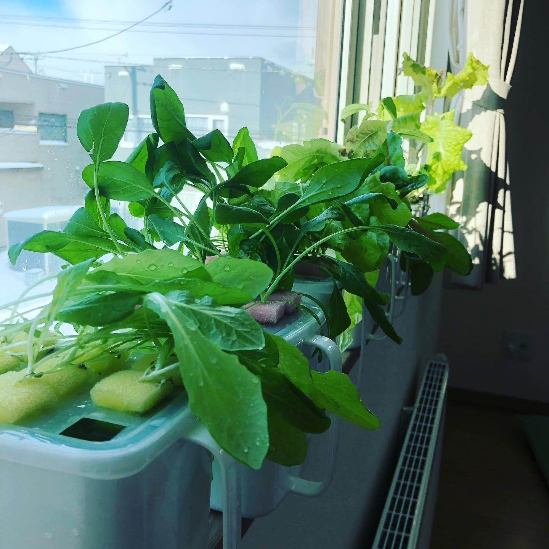 流水後の水耕栽培植物たち