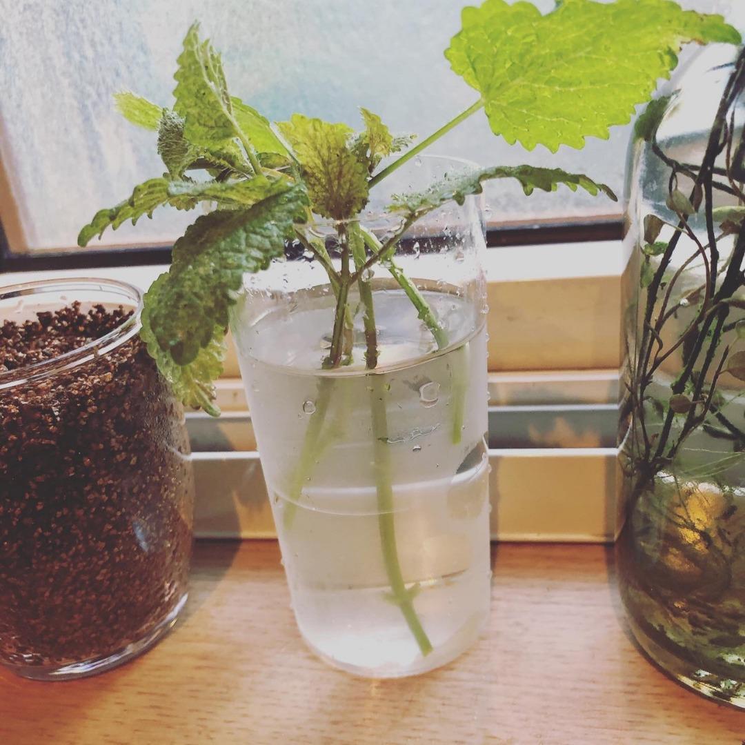 レモンバームを水挿しで増殖