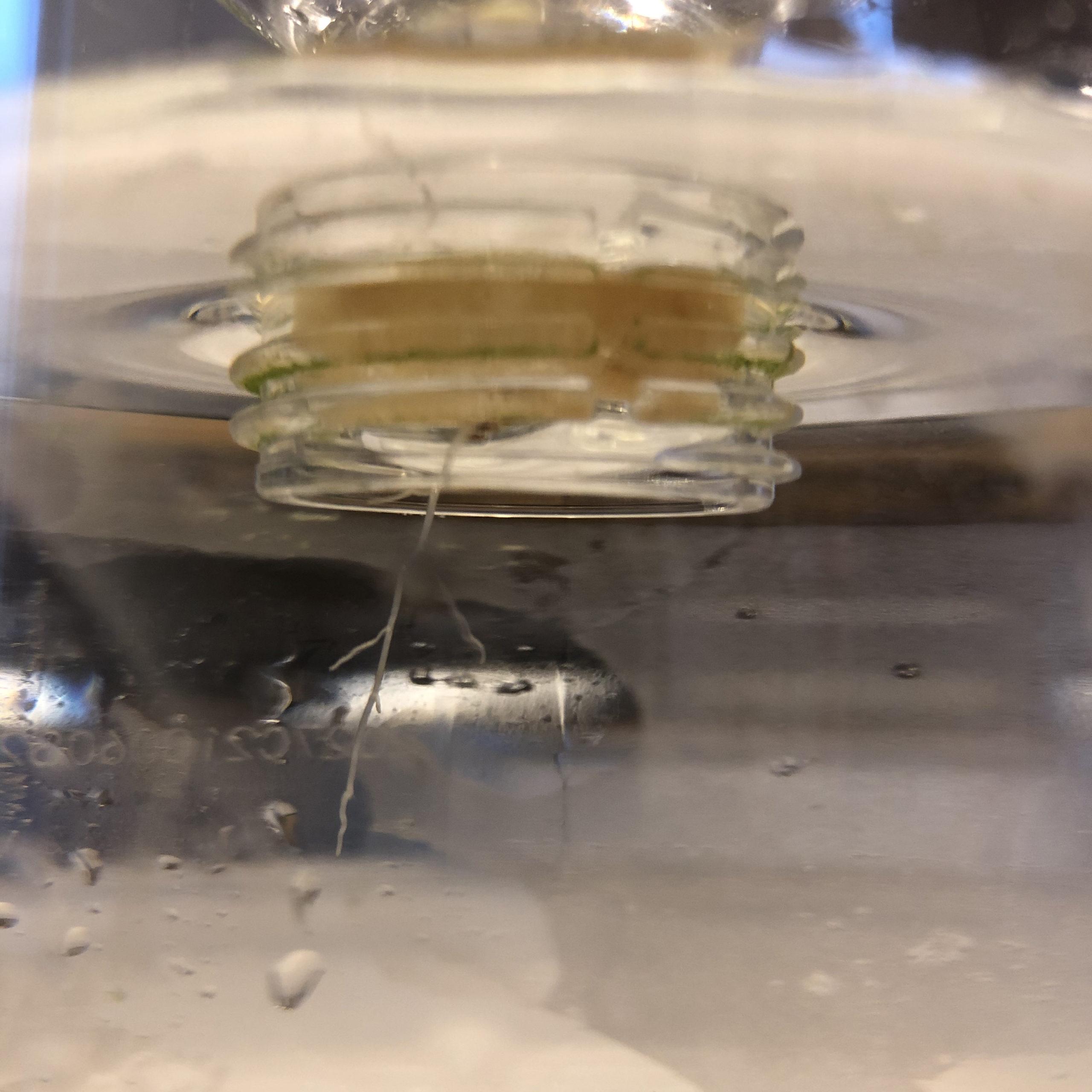 水耕栽培バジルを容器に移行