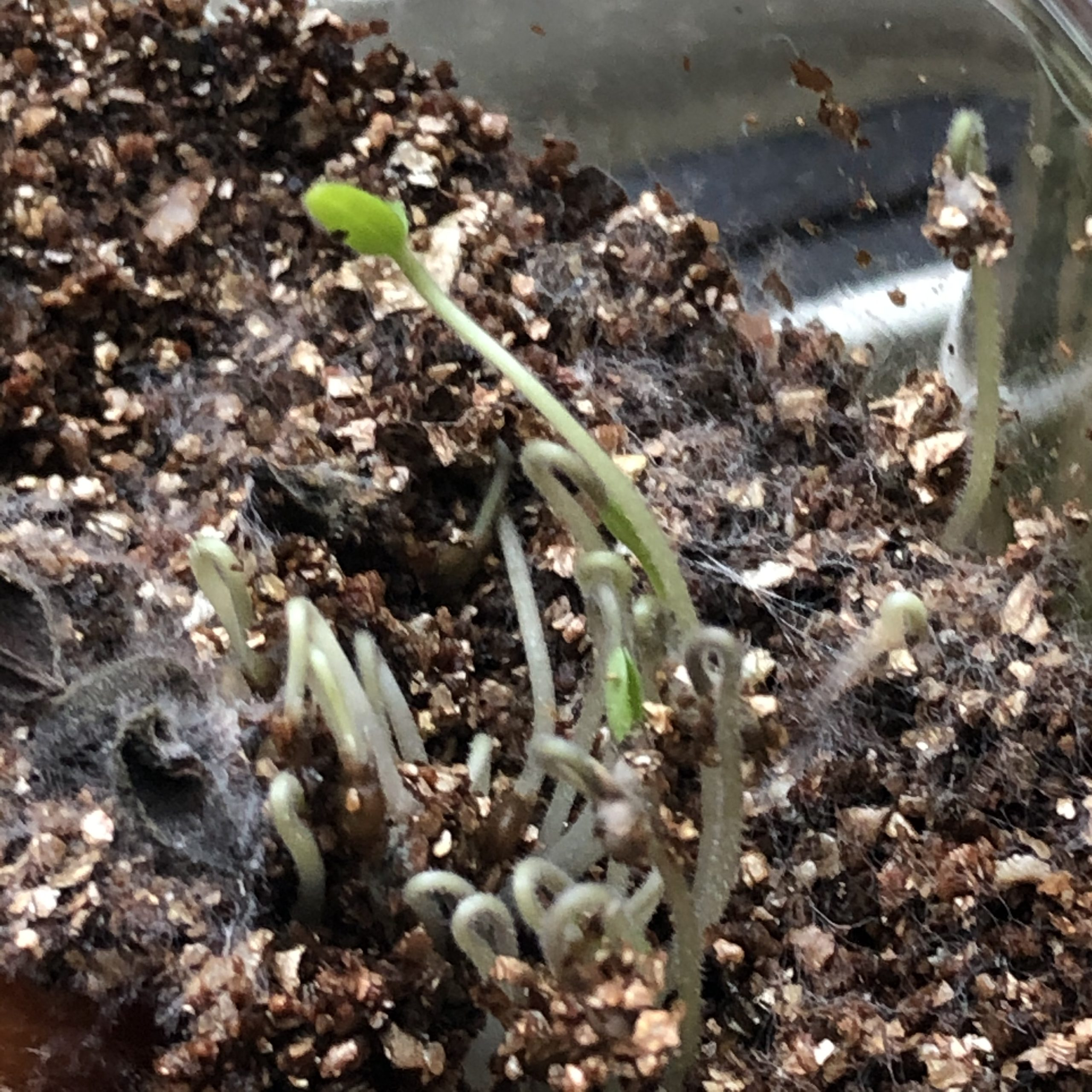 マイクロトマトの発芽