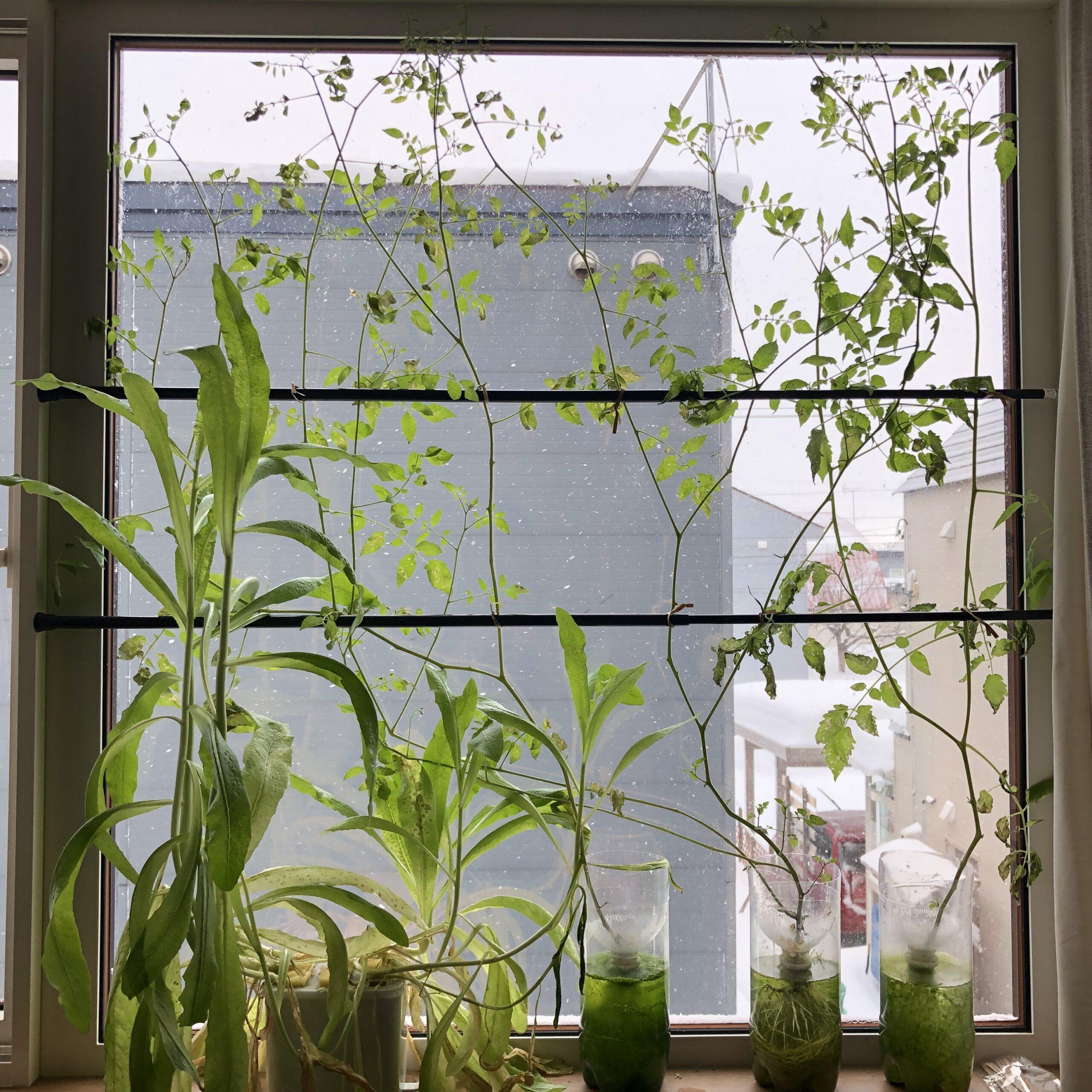 茎レタスの水耕栽培