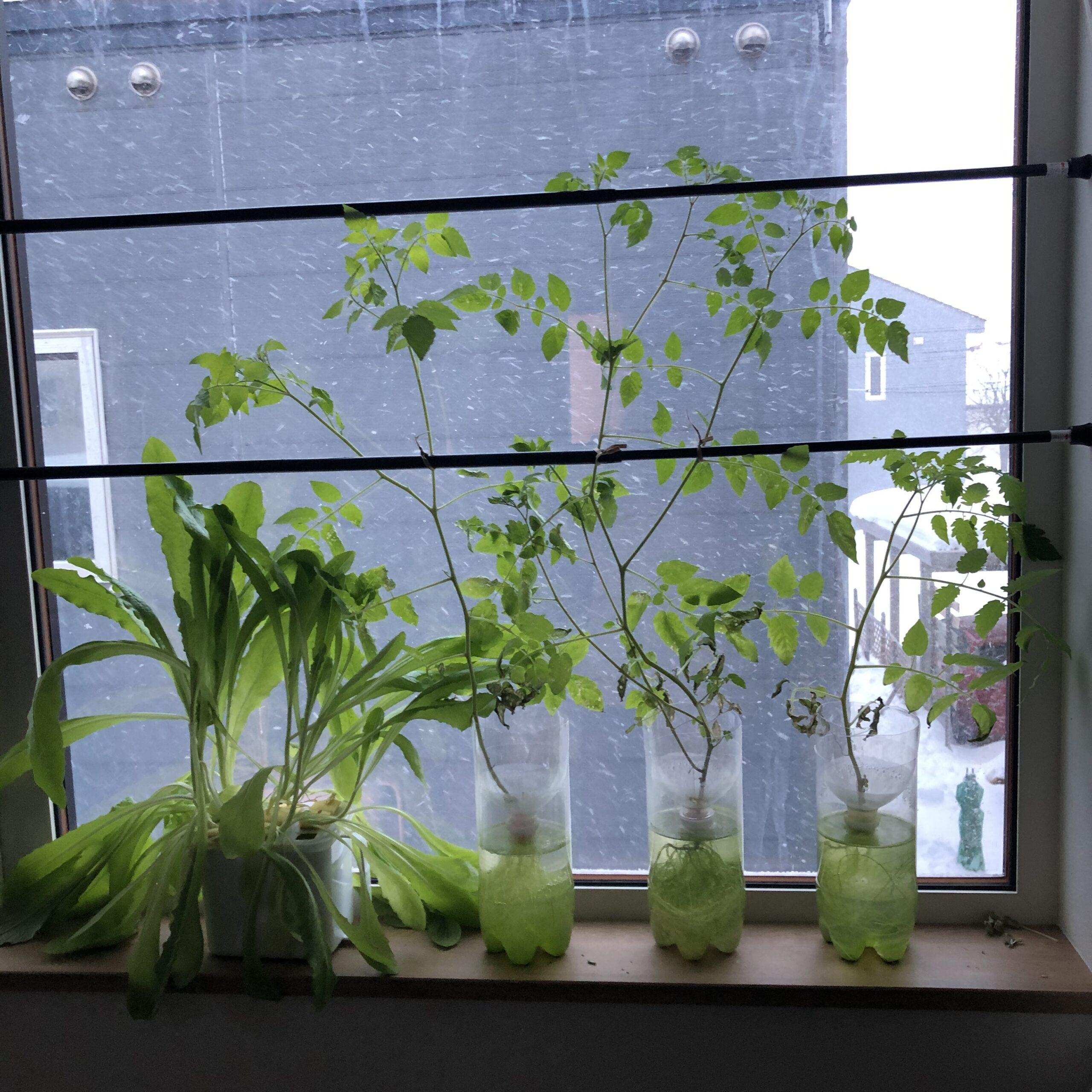 水耕マイクロトマト