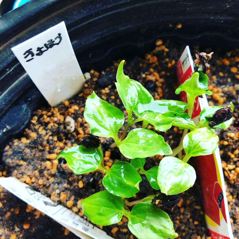 食べたブドウの種が発芽