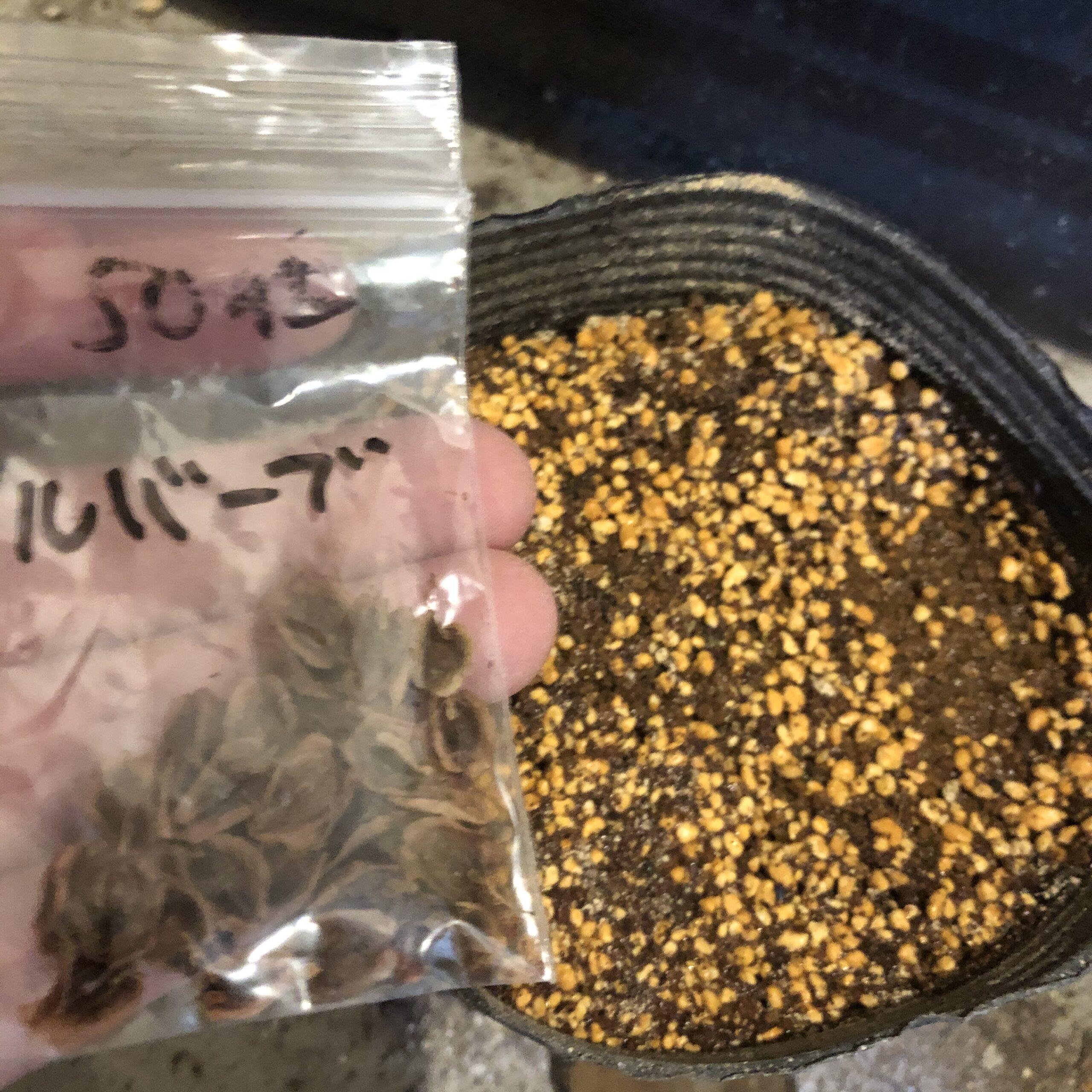 ルバーブを種から育てる