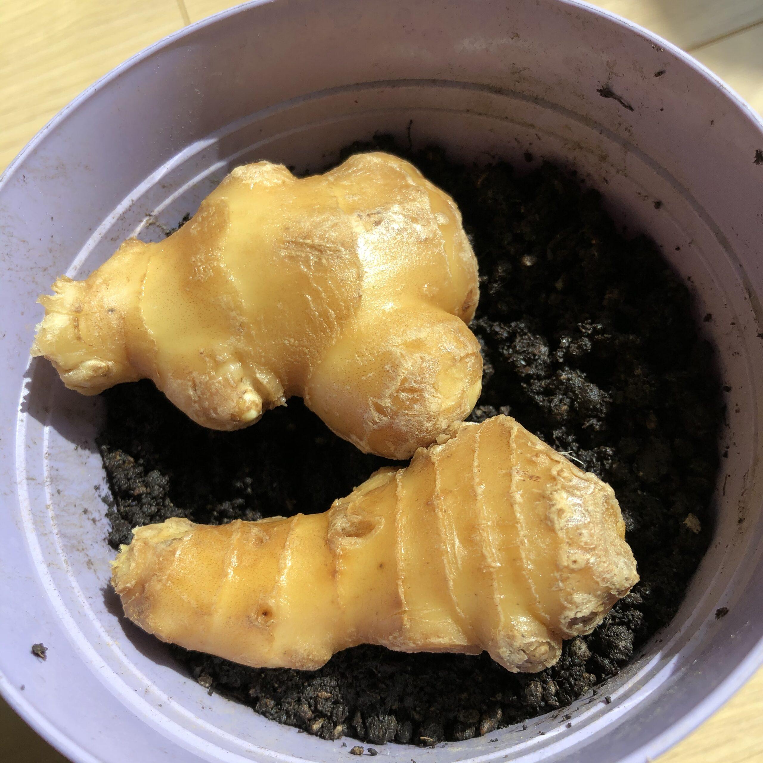 スーパーの生姜の芽だし