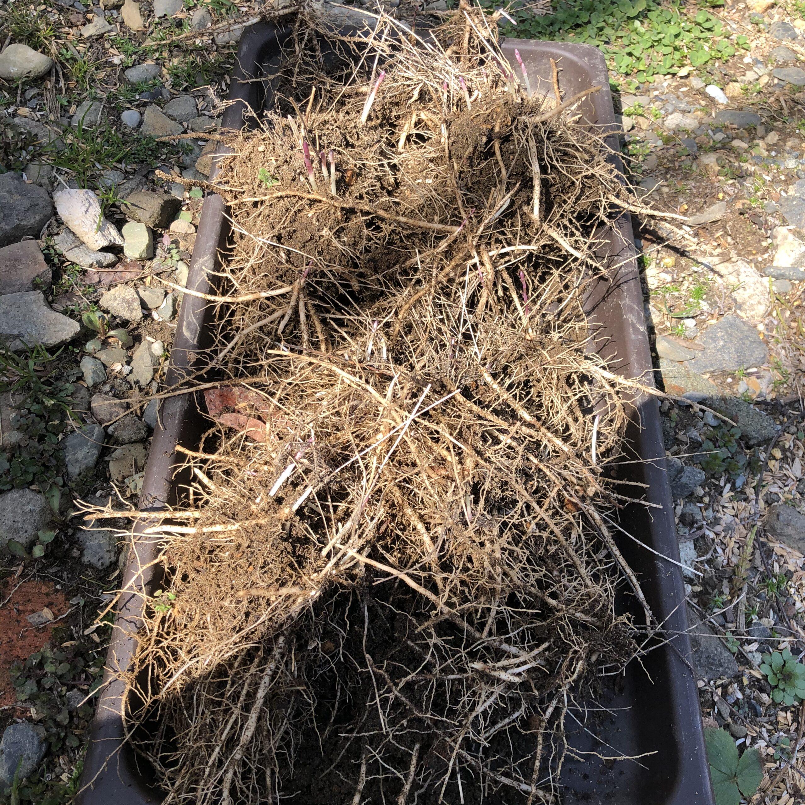 アスパラガスの根っこ